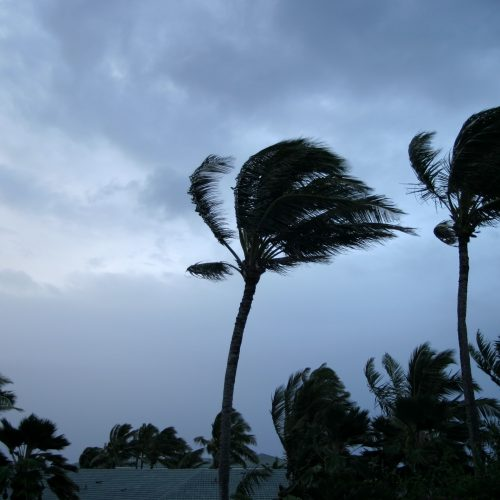 Palm trees blowing as a hurricane approaches