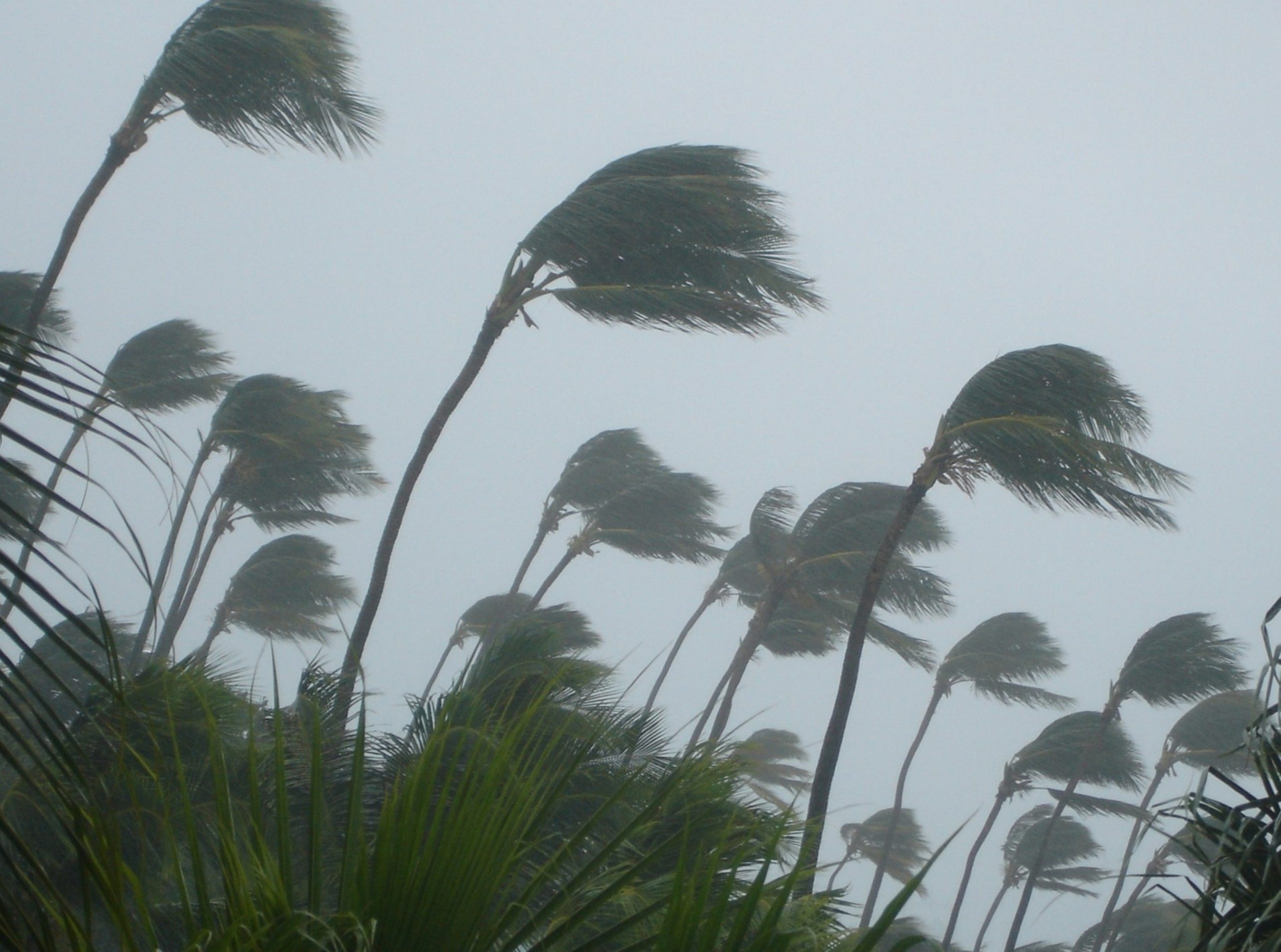 Palm trees blowing in the wind during Tropical Storm Elsa.